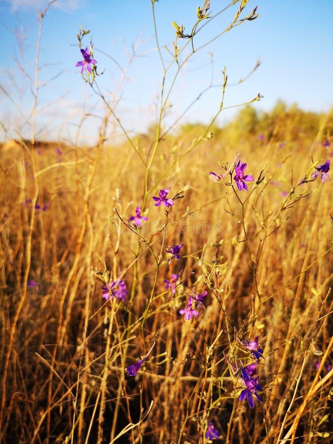 As flores roxas pequenas no deserto seco gramam o fundo imagem de stock royalty free
