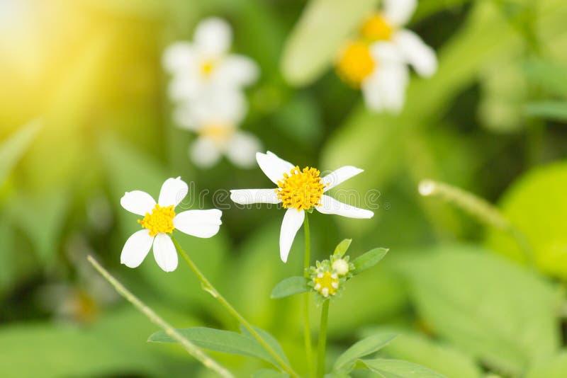 As flores são brancas com fundo natural dos estames amarelos foto de stock royalty free