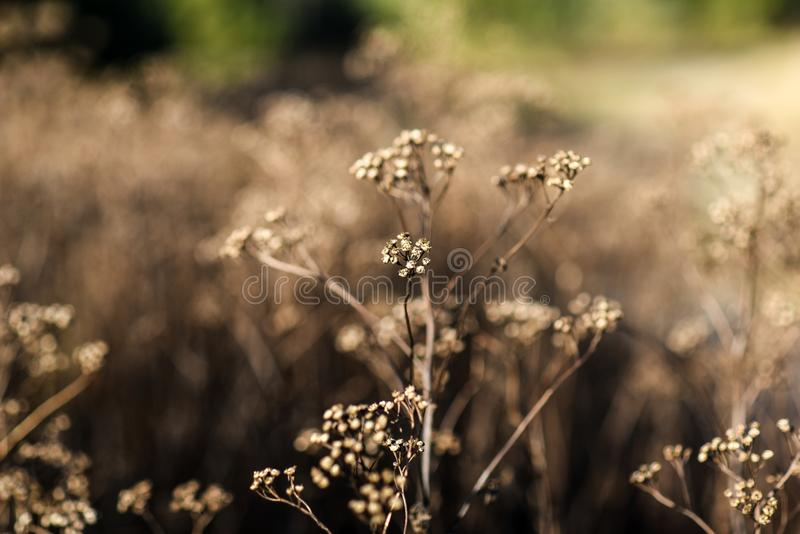 As flores secadas selvagens no prado no outono temperam no Polônia fotografia de stock
