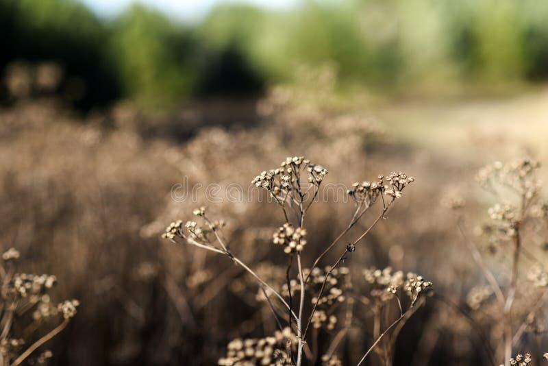 As flores secadas selvagens no prado no outono temperam no Polônia imagem de stock