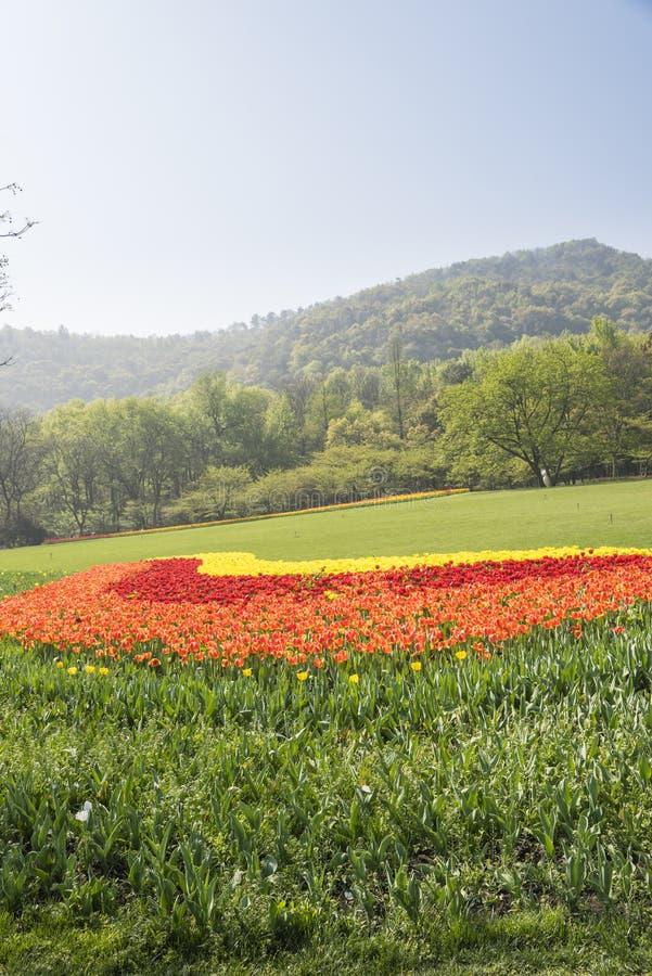 As flores verdes do gramado e das tulipas fotos de stock