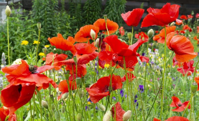 As flores vermelhas brilhantes da papoila fecham-se acima foto de stock royalty free