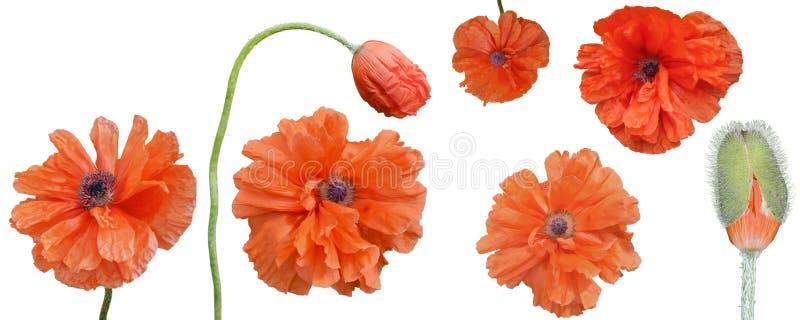 As flores vermelhas brilhantes e uma papoila brotam em um fundo branco, isolado das papoilas imagem de stock