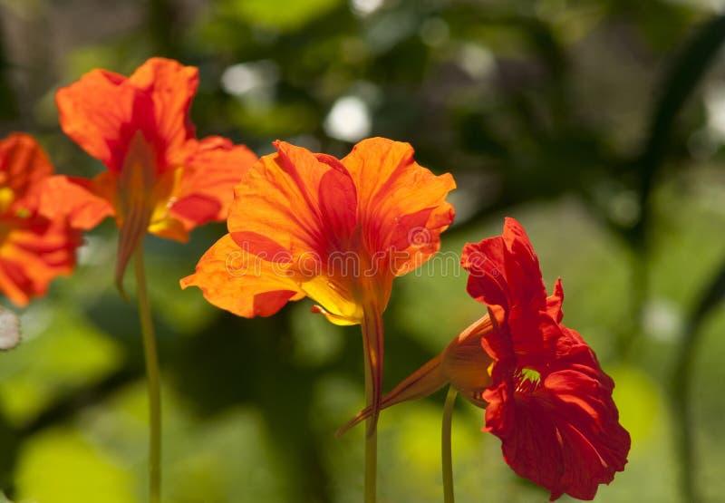 As flores vermelhas da chagas fecham-se acima fotografia de stock royalty free