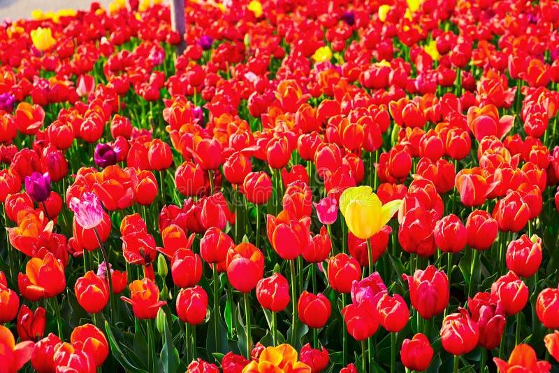 As flores vermelhas de florescência da tulipa fotografia de stock royalty free