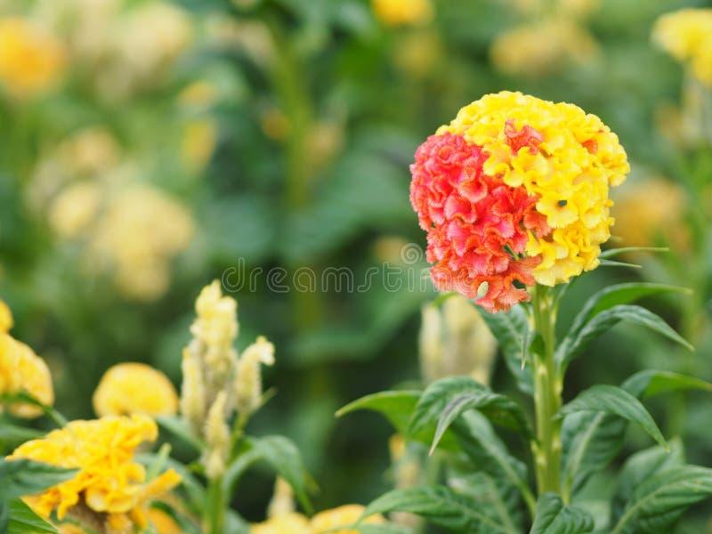 As flores vermelhas e amarelas da crista nomeiam do cristata que do Celosia as flores são pequenas em tamanho mas colarão junto n fotografia de stock royalty free