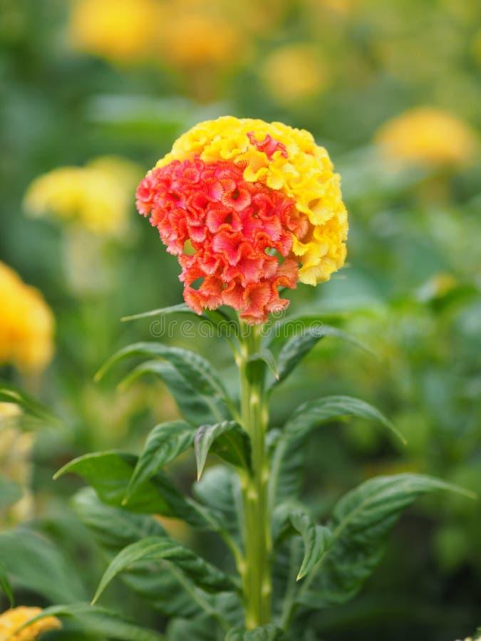 As flores vermelhas e amarelas da crista nomeiam do cristata que do Celosia as flores são pequenas em tamanho mas colarão junto n foto de stock