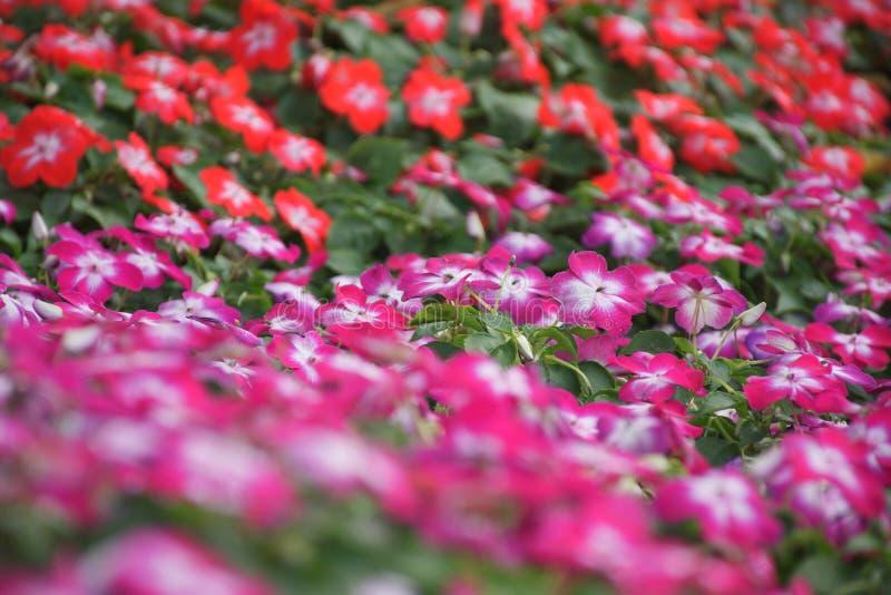 As flores vermelhas e roxas minúsculas na cena borrada imagem de stock