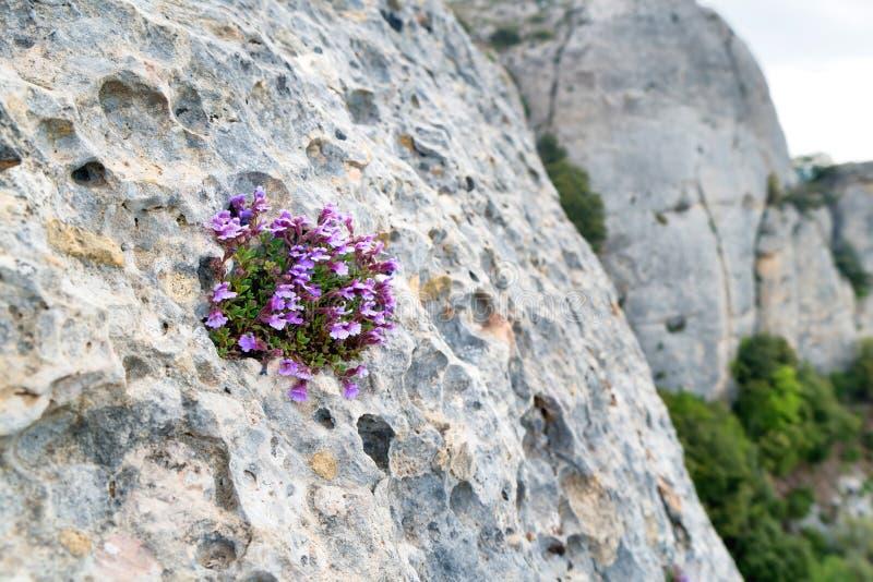 As flores violetas crescem na rocha imagem de stock