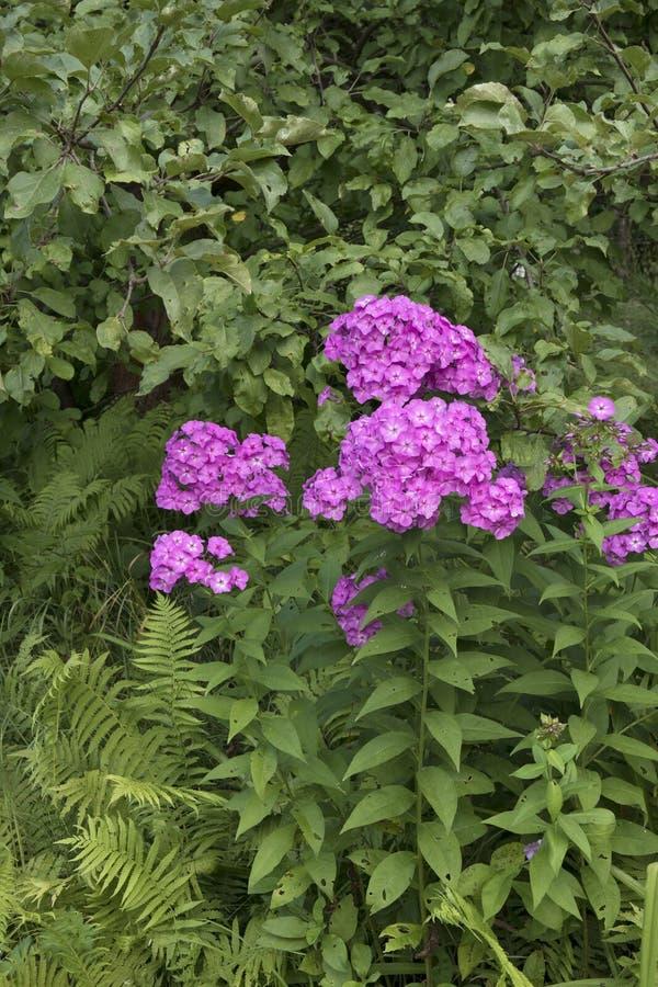 As flores violetas do flox fecham-se acima da foto no fundo verde do jardim imagem de stock royalty free
