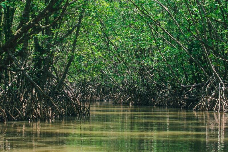 As florestas dos manguezais na natureza têm muitas raizes para a adesão fotografia de stock royalty free