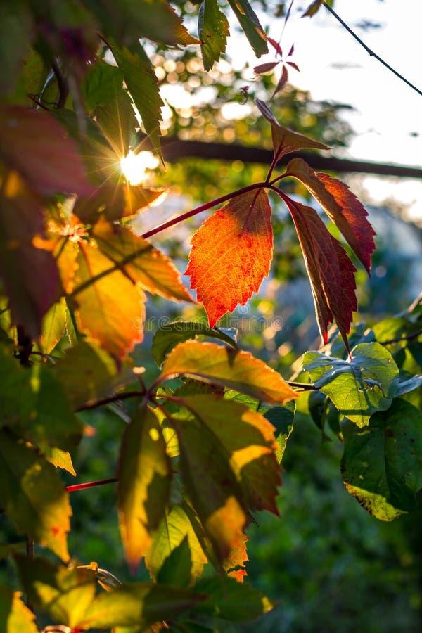As folhas bonitas da videira virgem iluminaram-se pelo sol de ajuste fotografia de stock