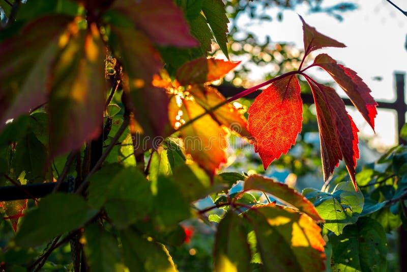 As folhas bonitas da videira virgem iluminaram-se pelo sol de ajuste foto de stock royalty free