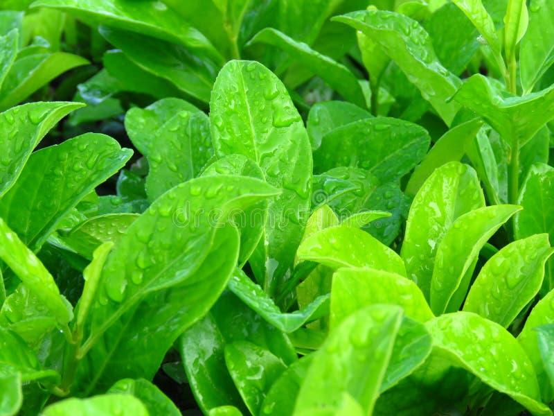 As folhas brilhantes vibrantes do verde cobertas com água chovem gotas de orvalho foto de stock