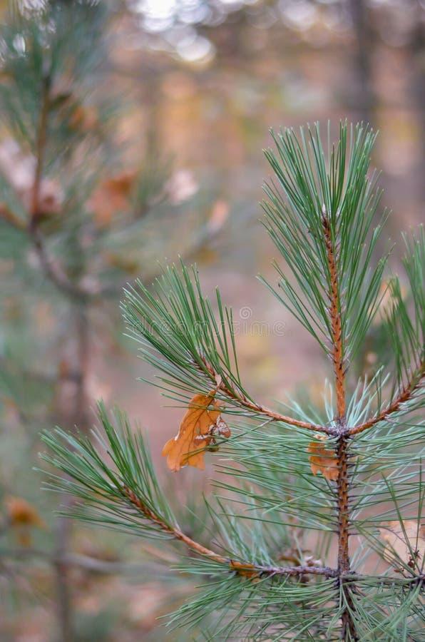 As folhas caídas do carvalho amarelo penduram nas agulhas do pinho novo Fundo verde-amarelo morno Esquerda muito espaço para o te foto de stock