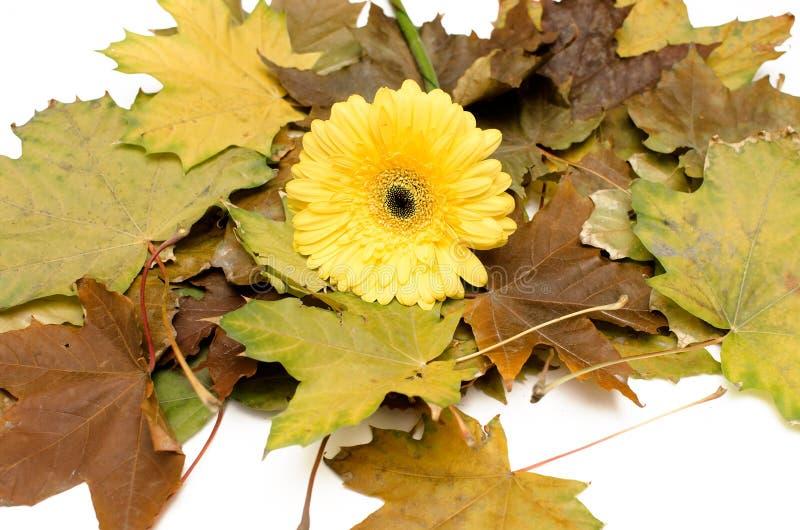 As folhas caídas outono e o gerbera amarelo florescem isolado no fundo branco imagem de stock royalty free