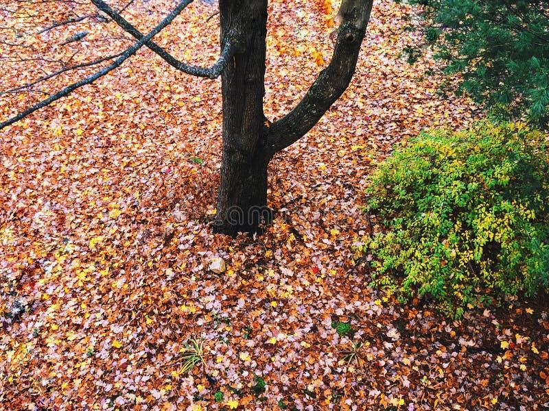As folhas coloridas da árvore de bordo do açúcar caíram na terra na queda foto de stock royalty free