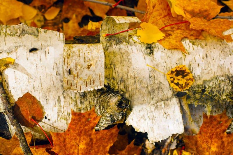 As folhas coloridas fecham-se acima do encontro em um vidoeiro caído foto de stock royalty free