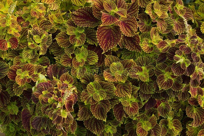 As folhas com roxo veiam o fundo fotos de stock