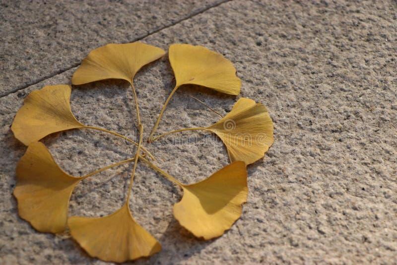 As folhas da árvore dispersada da nogueira-do-Japão foto de stock