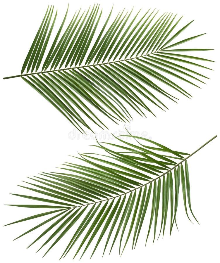 As folhas da palmeira do coco por muito tempo ajustaram 2 isolados imagem de stock