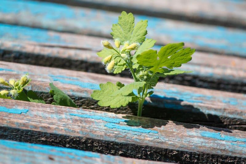 As folhas da planta crescem de um banco de madeira foto de stock royalty free