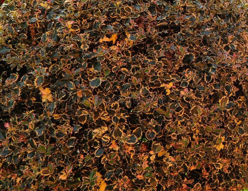 As folhas da planta do azevinho no outono temperam fotografia de stock