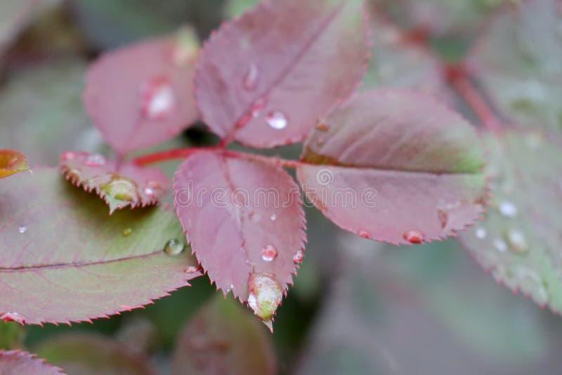 As folhas das rosas após o fundo da chuva foto de stock