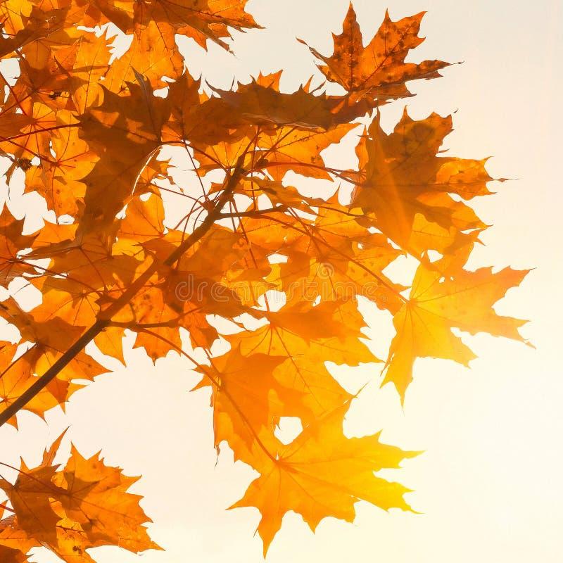 As folhas de bordo coloridas fecham-se acima em um dia ensolarado bonito do outono Autumn Landscape Fundo abstrato da queda imagem de stock