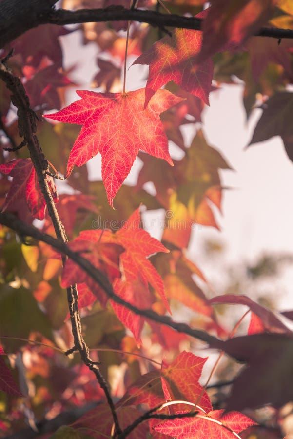 As folhas de bordo em um por do sol morno do outono colorem a luz fotos de stock