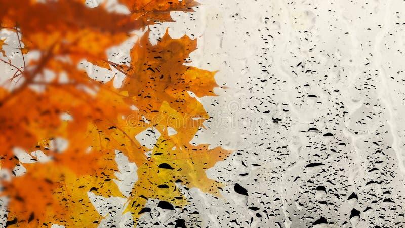 As folhas de bordo multicoloridos através do vidro de janela encheram-se com a chuva Paisagem da queda Copie o espaço foto de stock royalty free