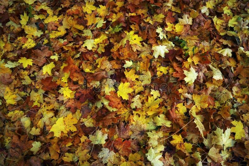 As folhas de bordo são coloridos caídas no outono como o fundo fotografia de stock