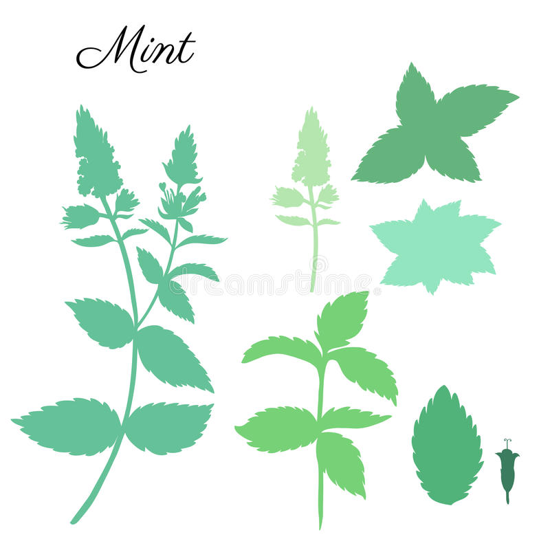 As folhas de hortelã, pastilha de hortelã brotam no fundo branco, silhueta floral tirada mão do vetor, erva picante do verde da c ilustração do vetor