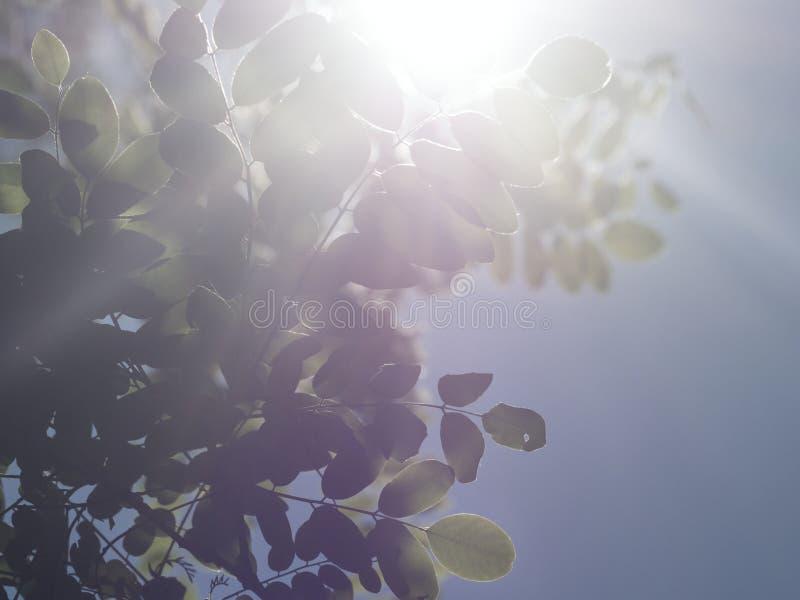 As folhas de locustídeo pretos com raios de sol foto de stock