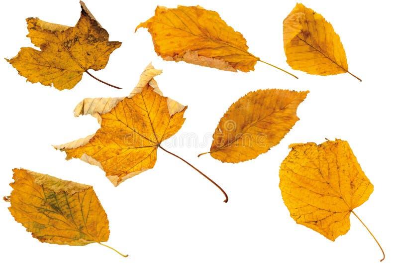 As folhas de outono, cortaram isolado no branco foto de stock royalty free
