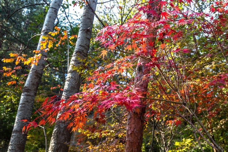 As folhas de outono em Bei Jiu Shui arrastam, montanha de Laoshan, Qingdao, China foto de stock