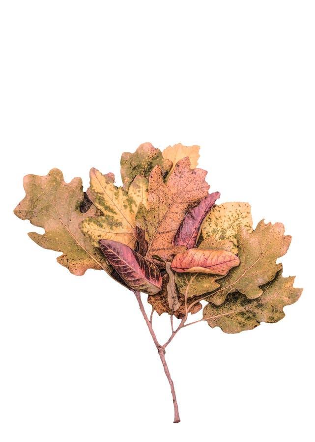 As folhas de outono secadas como uma árvore dão forma no fundo de madeira fotografia de stock royalty free