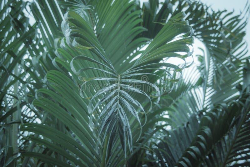 As folhas de palmeira que incham para baixo podem ser vistas como uma forma do coração imagem de stock