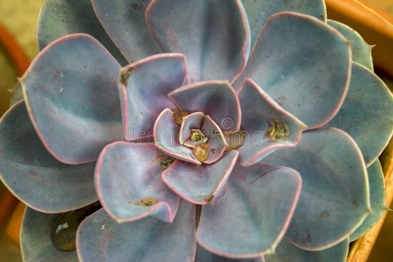 As folhas de uma planta suculento do echeveria imagem de stock