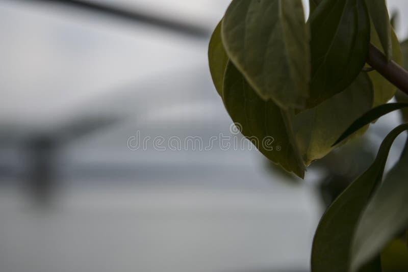 As folhas do flutuador da planta no ar, no leito fluvial no Danube River imagens de stock