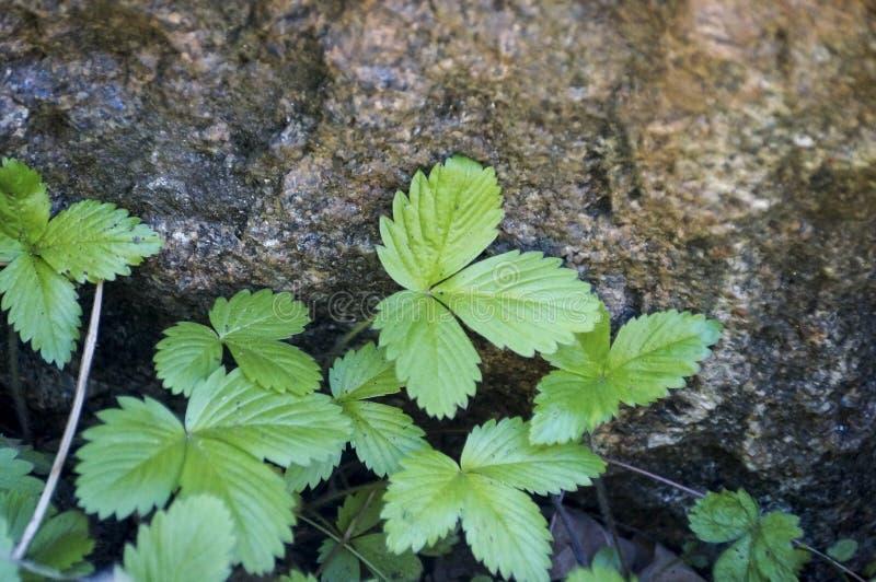 As folhas do morango silvestre na grama verde fotos de stock royalty free