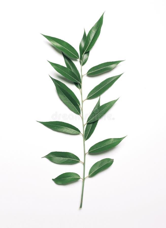 As folhas do salgueiro do ramo da planta verde provêm isolado em um backgroun branco foto de stock royalty free