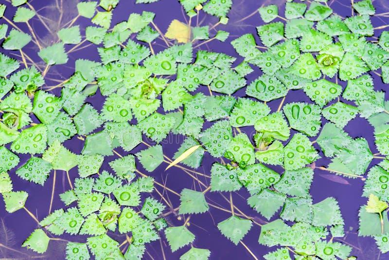 As folhas do verde após a chuva foto de stock royalty free