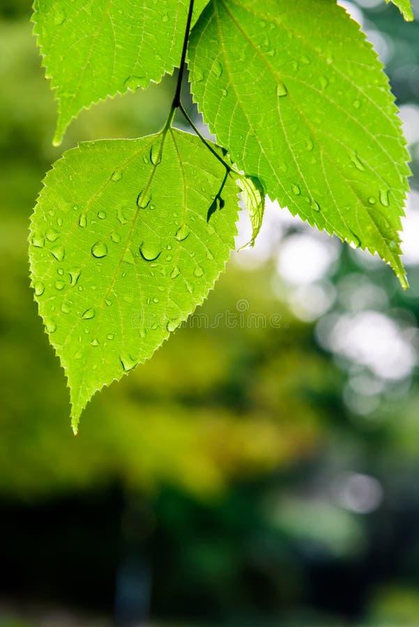 As folhas do verde após a chuva imagem de stock