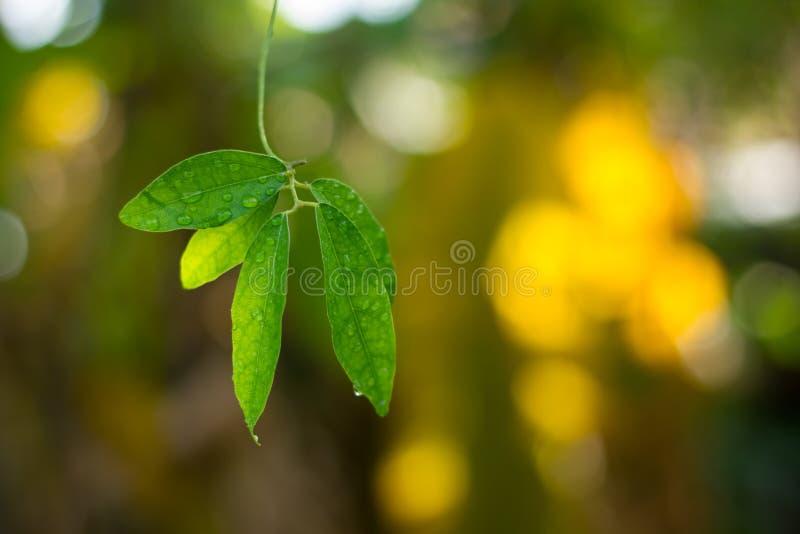 As folhas do verde com água deixam cair o fundo imagem de stock royalty free
