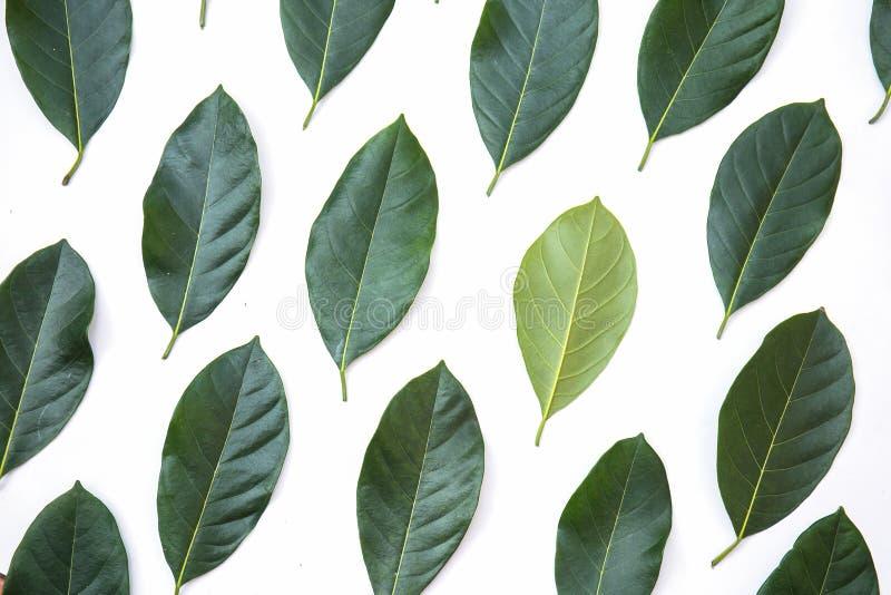 As folhas do verde da árvore de jackfruit texture o fundo e a bandeira, disposição criativa feita das folhas verdes imagem de stock