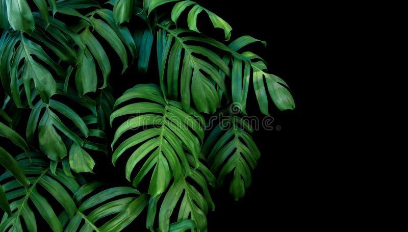 As folhas do verde de Monstera plantam o crescimento em selvagem, o tropical para foto de stock royalty free