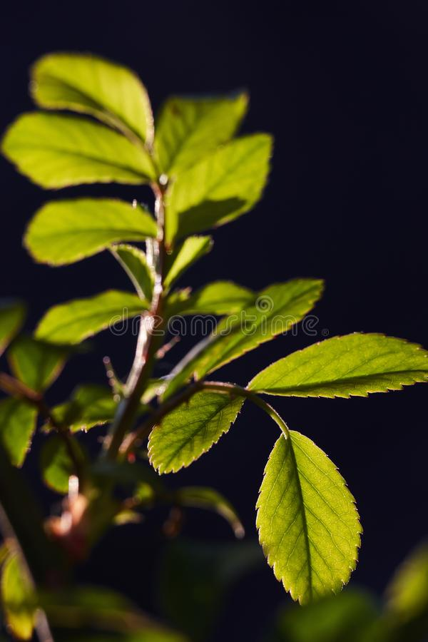 As folhas do verde de um novo aumentaram no luminoso de um sol da mola fotos de stock royalty free