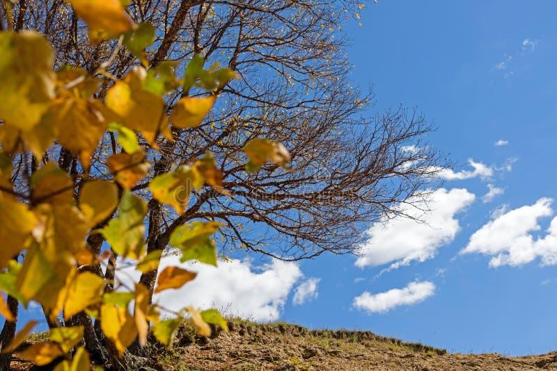 As folhas do vidoeiro branco e morreram árvore no outono fotos de stock royalty free