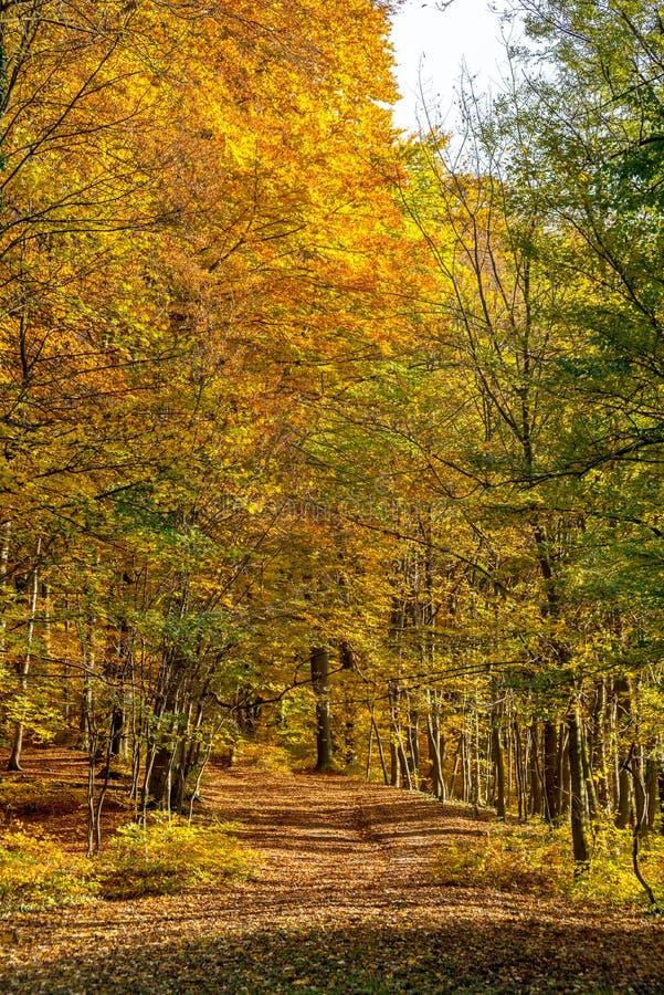 As folhas douradas cobriram o trajeto de floresta no parque em outubro, Bratislava, Eslováquia foto de stock royalty free